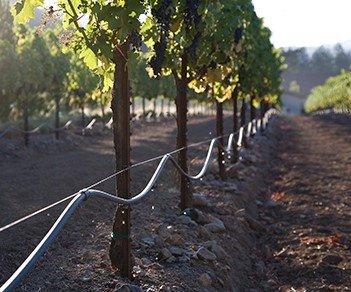Vineyards with irrigation