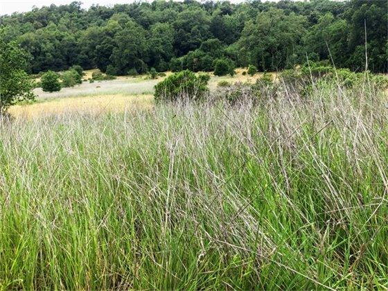 High Grass at Healdsburg Ridge & Open Preserve