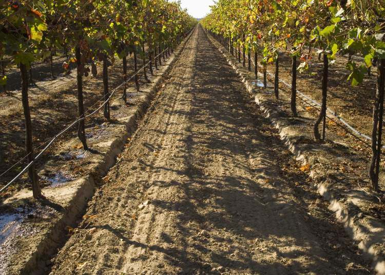 Drip irrigation in a vineyard in California